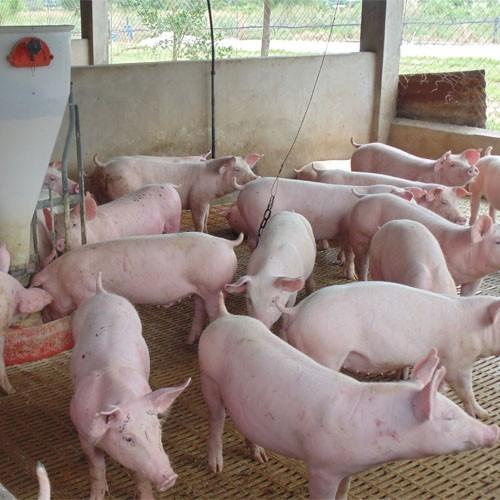 Provimi realizará un webinar gratuito sobre bioseguridad con foco en la Peste Porcina Africana